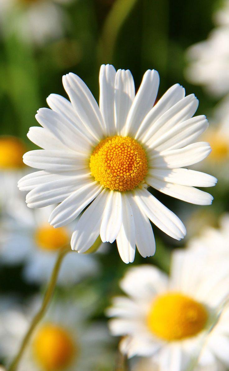 3563ccf3fb0ee7de471f33394b6e6d95--daisy-flowers-pretty-flowers.jpg