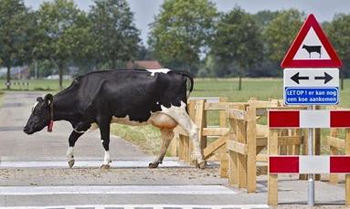 cowcrossing.jpg