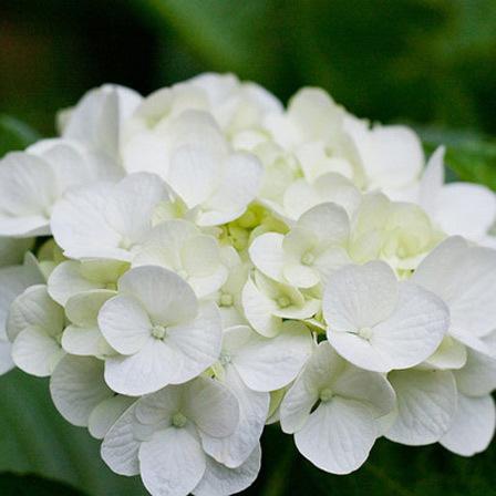 white-hydrangea-flowers.jpg